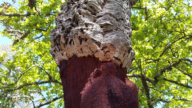 Tronc de chêne-liège