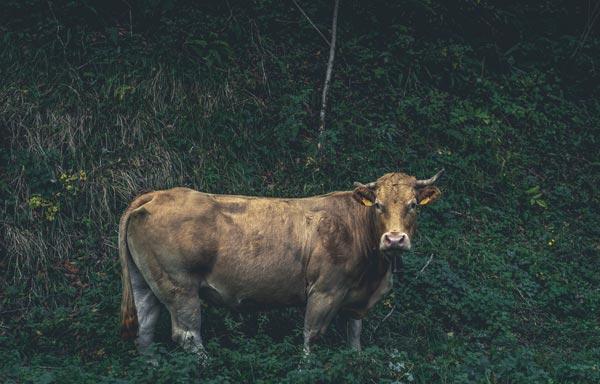 Vache utilisée pour la production de cuir